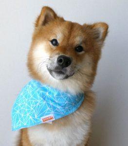shiba inu blue bandana